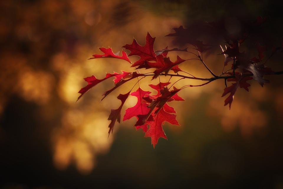 maple-leaves-2895335_960_720
